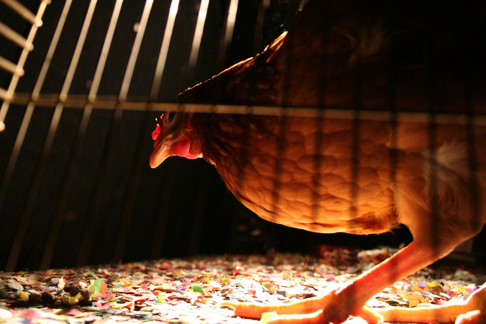 Tesla the Chicken - we used a live chicken at an unexpected place in the performance installation